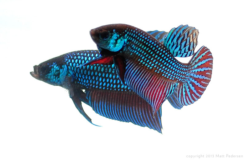 Sparring wild male Betta mahachaiensis.