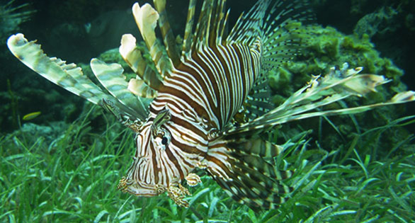 Invasive lionfish hunting in the waters off Eleuthera in the Bahamas.