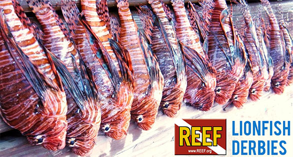 Speared lionfish from a REEF-sponsored derby in Florida.