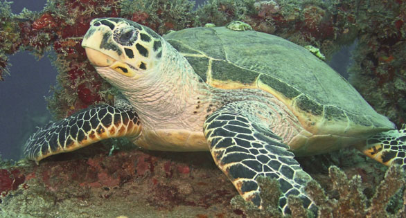 Endangered Sea Turtle in Florida waters.