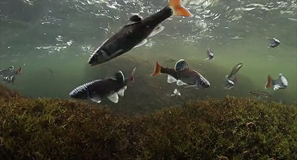 "Alabama shiners (Cyprinella callistia) - Screen capture from ""Hidden Rivers"" preview by Freshwaters Illustrated."