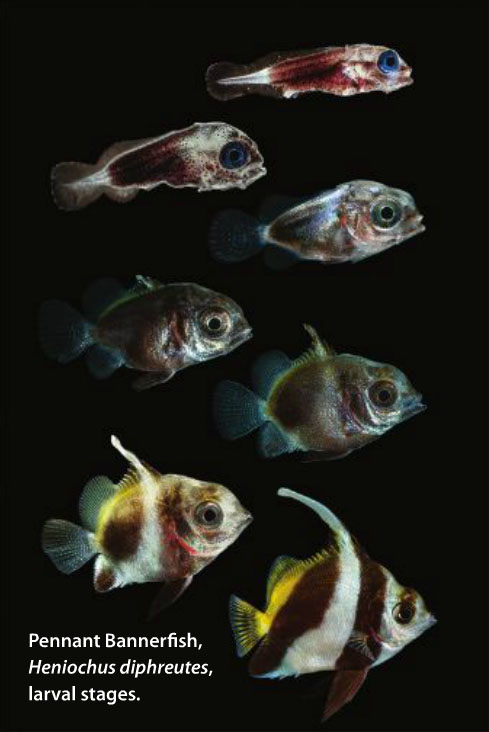 The larval development of the Schooling Bannerfish, Heniochus diphreutes, as documented by Frank Baensch
