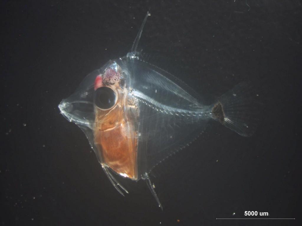 Day 60 Yellow Tang (Zebrasoma flavescens) larvae.  Photo credit: Dean Kline.