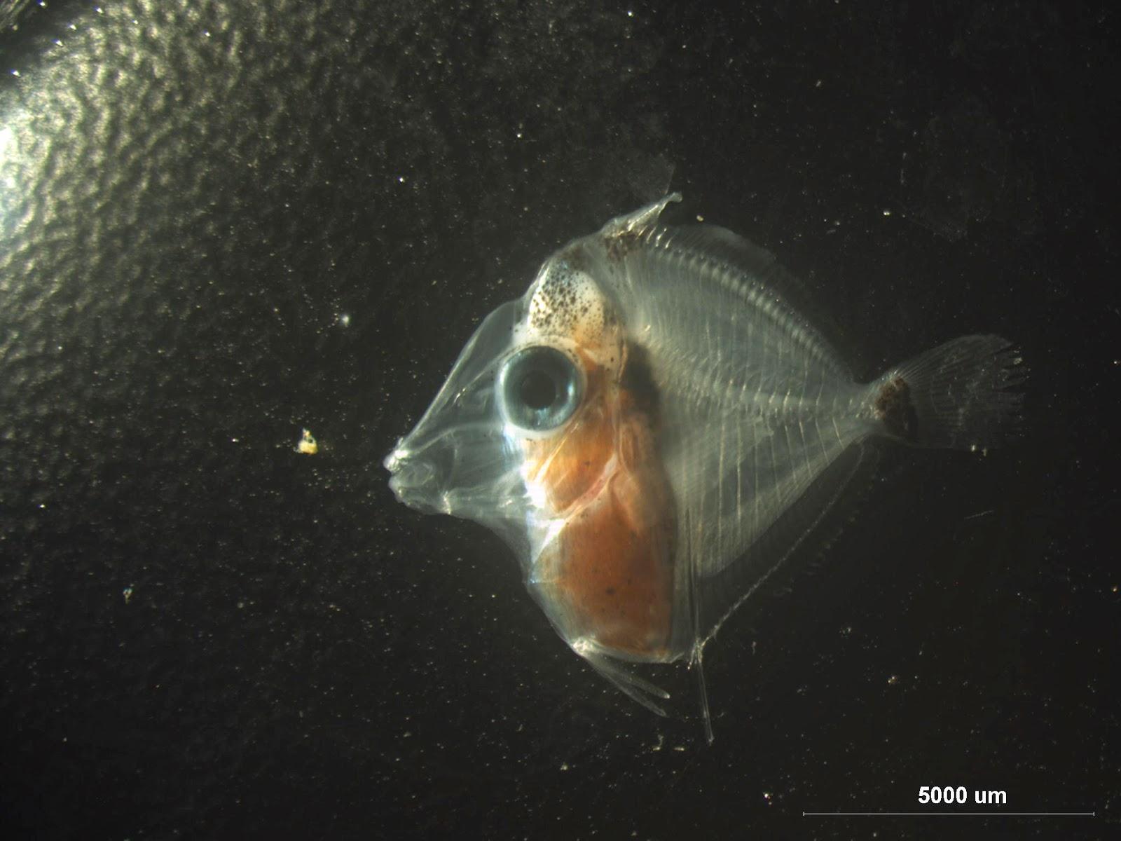 Yellow tang breeding so close yet so far for Yellow tang fish