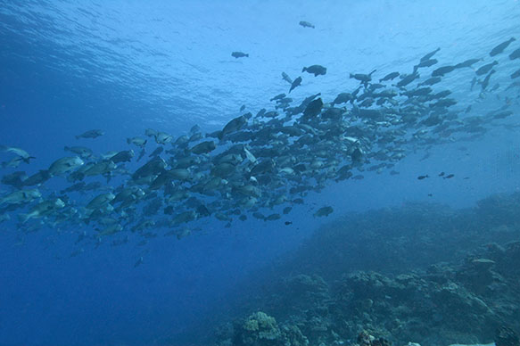 Spawning aggregation of Bumphead Parrotfishes, each up to five feet in length, off Palau.