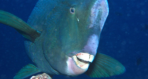 Bumphead Breakthrough: Tank Raised Parrotfish