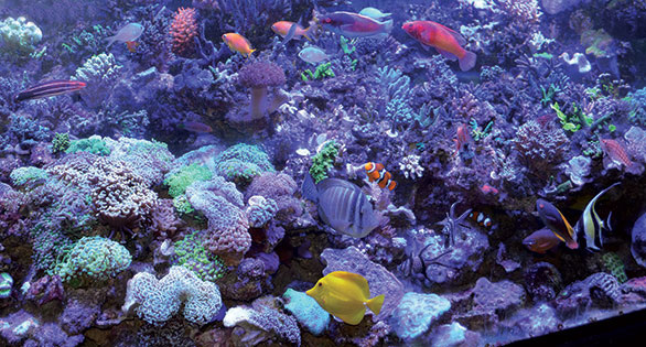Festooned with both large- and small-polyped stony corals, the author's tank is a Marineland Deep–style glass aquarium 72 inches long, 27 inches in depth, and 36 inches from front to back.