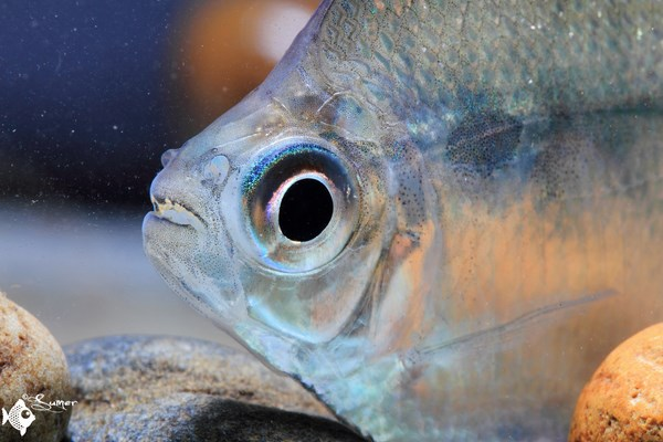 Brachychalcinus orbicularis aka discus tetra, a beautiful characin. They can get as large as 10 cm.