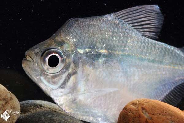 Adult specimen  have this cute hump-like shape on their forehead. These fish are very fast.