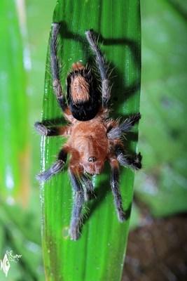 tarantula baby