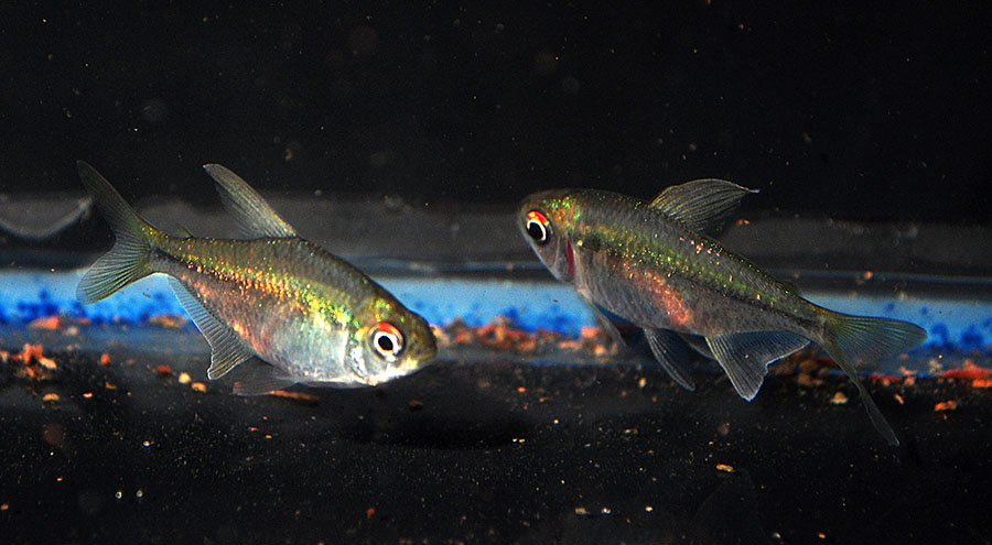 Presumably female Diamond Tetras, here for about 3 weeks more, from the first batch, arrived 4/30/2014.