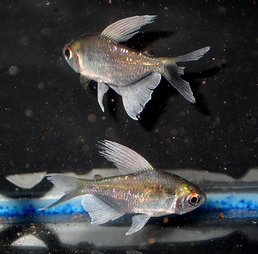 A pair of Male Diamond Tetras, freshly arrived 5/22/2014