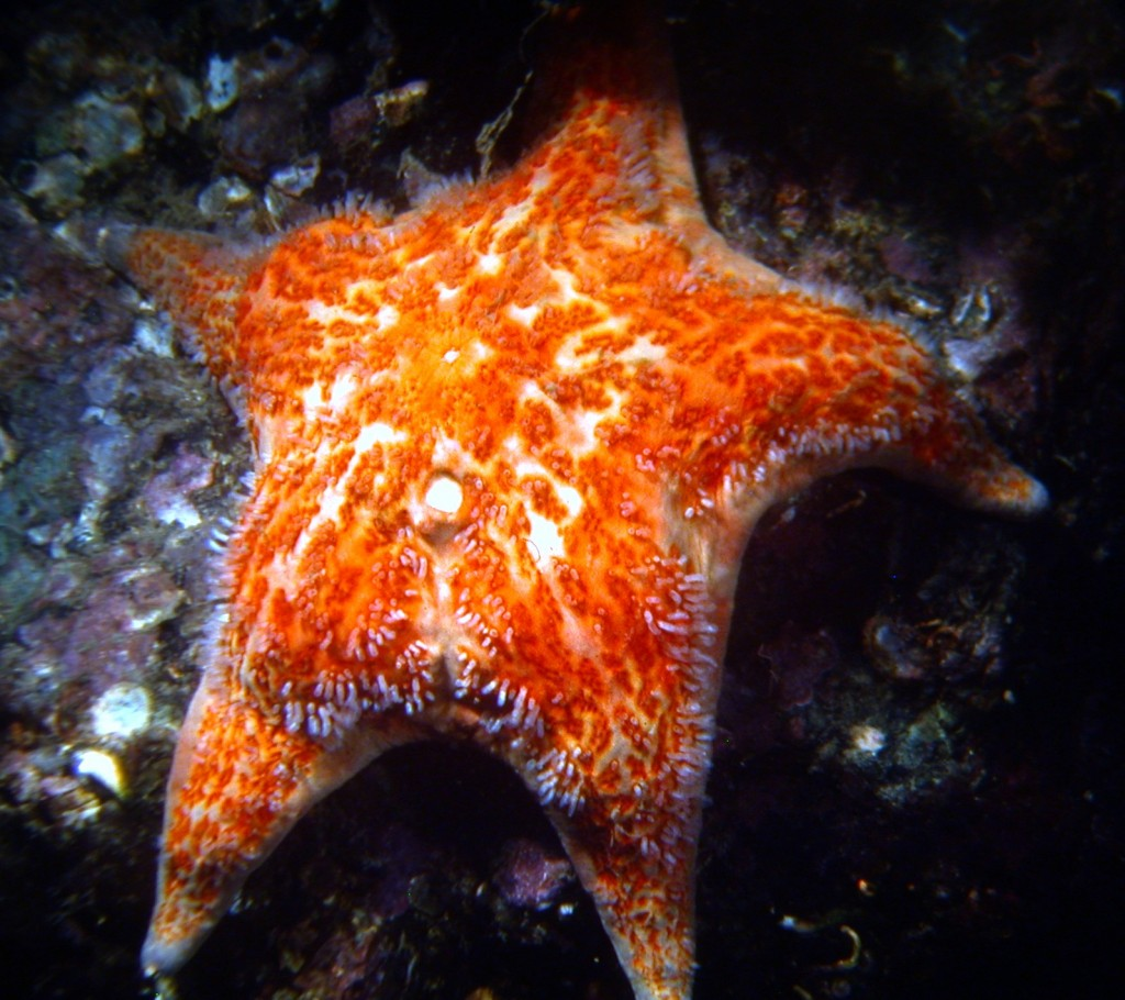 The leather star, Dermasterias imbricata.