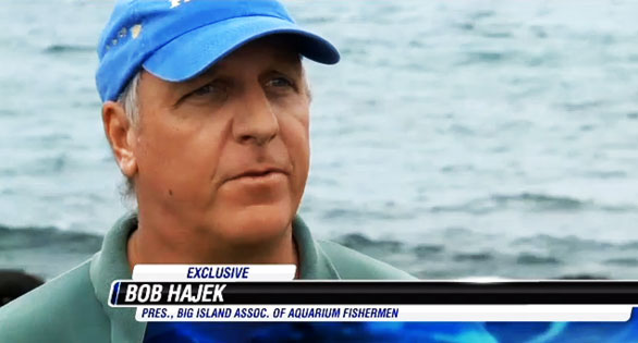 Aquarium fisherman Bob Hajek: he and others would like laws prohibiting interference with their legal fish collection work. Screen image: Hawaii News Now.
