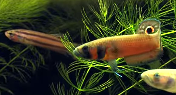 Male and Female Betta macrostoma are among some of the largest and most charismatic bettas in the aquarium hobby.