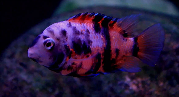 Screen Capture of an exceptionally vibrant Calico Convict by Mbuna Marcus on YouTube.