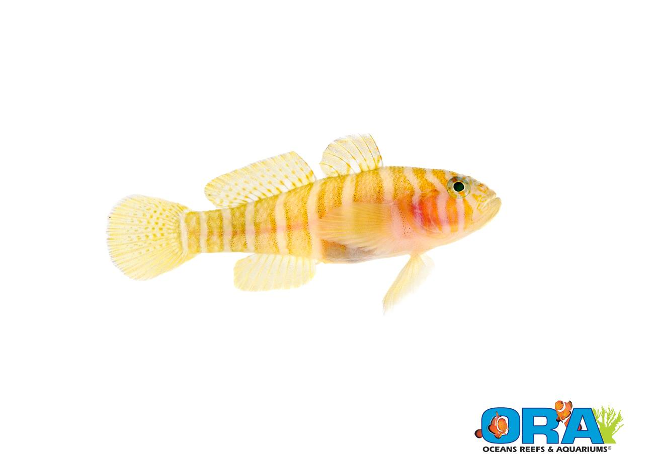 The Girdled Goby (Priolepis cincta), the first successfully captive-bred Priolepis sp. of Goby.