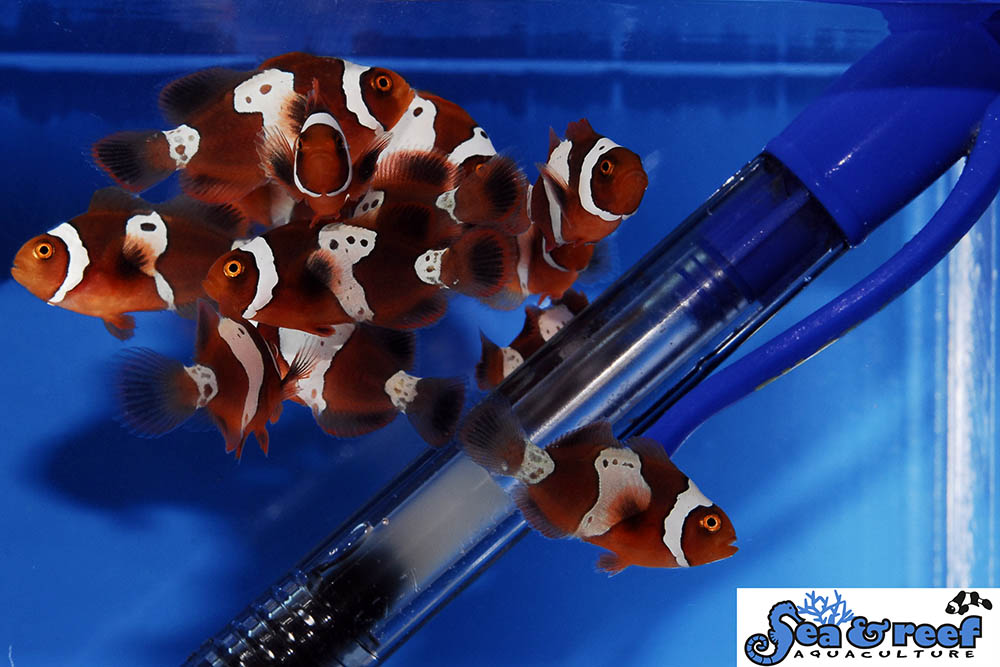 What impact will increasing availability of Lightning Maroons have on the designer clownfish scene?