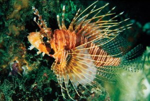 The small Mombasa lionfish (Pterois mombassae) will no longer be legal to import to Florida beginning 1 August. Photo Courtesy of Scott Michael