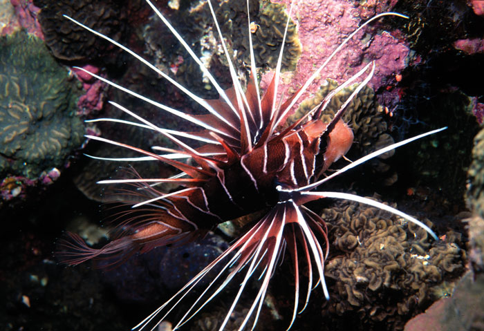 Pterios radiata joins 9 other Lionfish species that can't be imported into Florida after July 31st, 2014 - image by Scott Michael.
