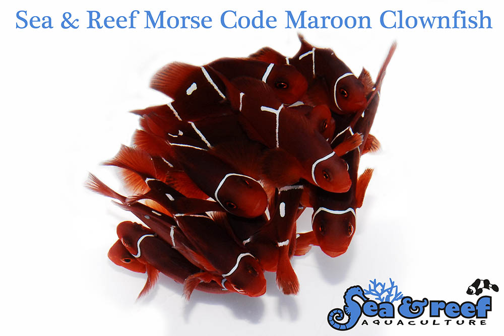"Sea & Reef's introduction of commercially cultured ""PNG Morse Code Maroons"" further demonstrates the unique genetic makeup of Maroon Clownfish found in Papua New Guinea."
