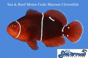 A clear look at the PNG Morse Code phenotype seen in offspring from multiple PNG Maroon Clownfish pairings.