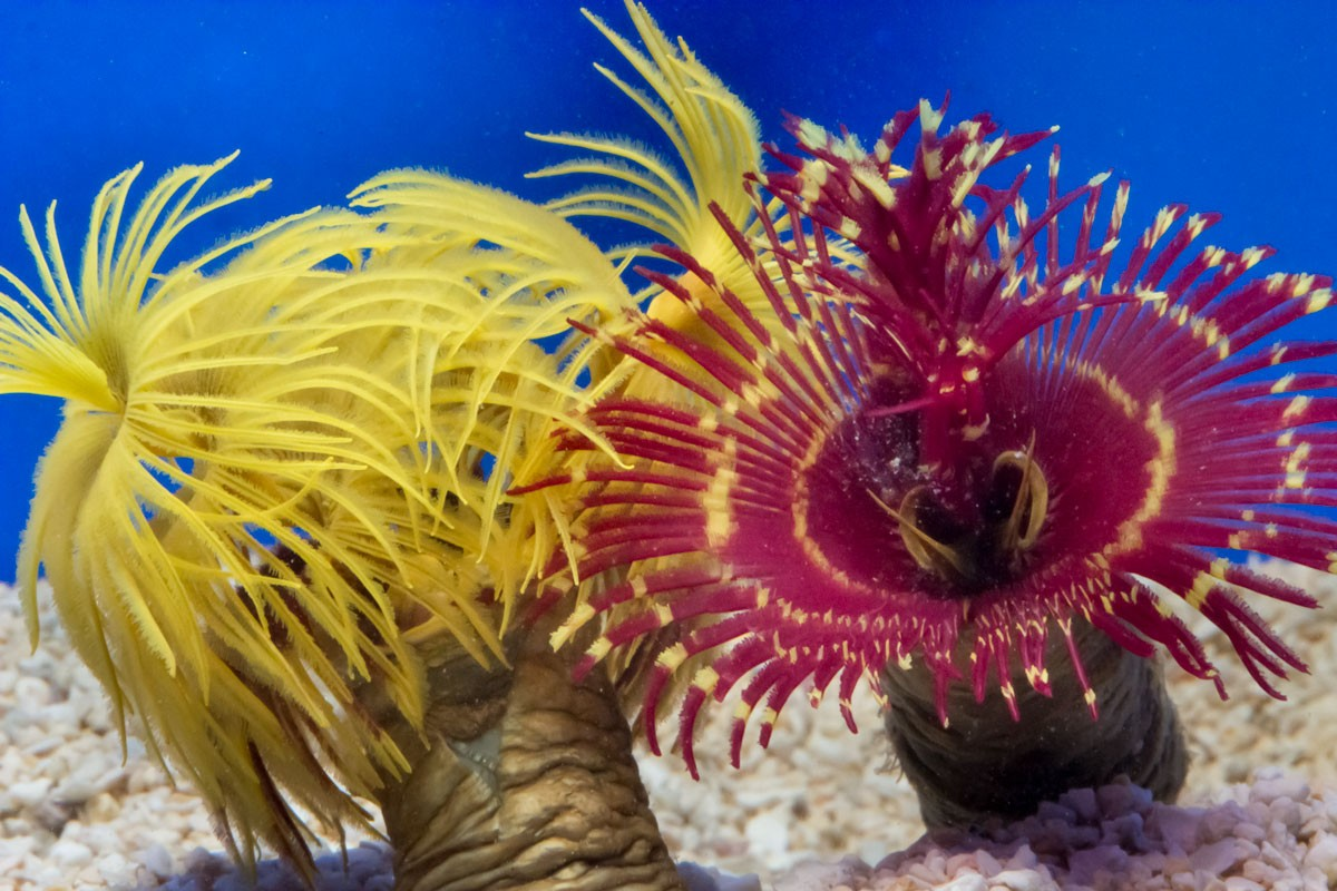 Feather Duster Worm Baby Feather Dusters and Fe...