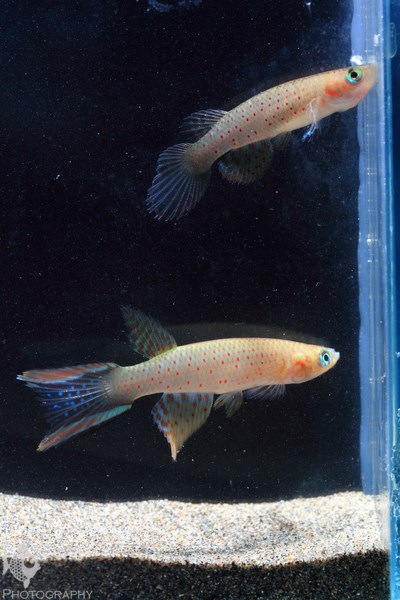 Aphyolebias rubrocaudatus male and female