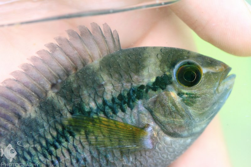 Cichlosoma boliviense is a very rare cichlid in the hobby. It is found in the Amazon river basin in Peru, Bolivia and northern Brazil.