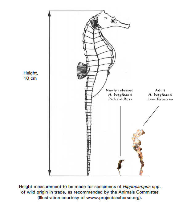 CITES documentation showing proper measuring of a Seahorse (http://www.cites.org/eng/notif/2005/014.pdf) - we've augmented it here to show, in scale, both the newborn and adult Hippocampus bargibanti (Newborn Image courtesy Richard Ross, Adult image from wild by Jens Petersen, via Creative Commons license)