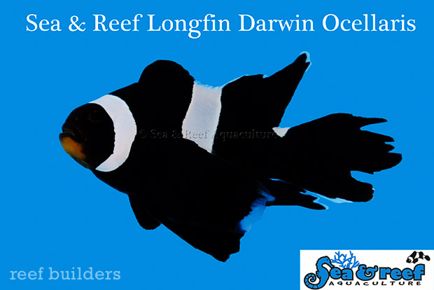 Sea & Reef's early 2014 discovery of a Longfin Black/Darwin Ocellaris literally came on the heels of the same phenotype being discovered in Orange Ocellaris by Sustainable Aquatics in late 2013.