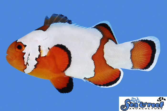 "The Snowflake Ocellaris - this particular specimen being considered a ""Premium"" grade fish by Sea & Reef."