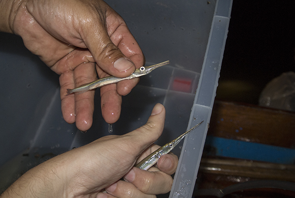 Success: freshly collected needlefish (Xenentodon sp.)