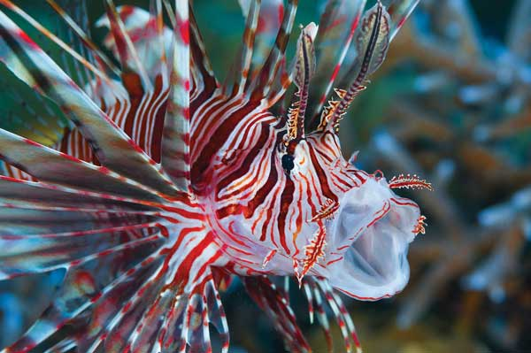 Yawning Volitans Lionfish currently living without fear of predators in its new Western Atlantic range. Whether New World sharks, groupers, eels and other Atlantic species will learn to prey on them is a large unknown. Image by Gary Bell @ OCEANWIDE IMAGES