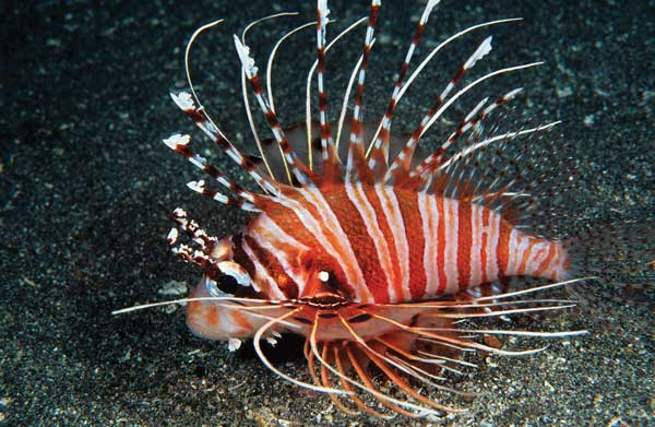 Starting August 1st, 2014, Florida residents will no longer be able to purchase 8 Pterois spp. Lionfish, including this Pterois antennata - image by Scott Michael