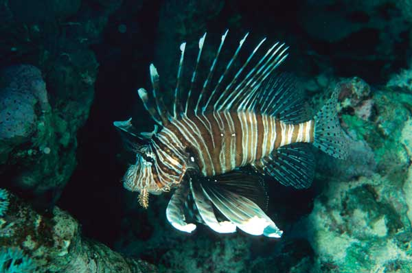 "Imports of any Pterois spp. into the state of Florida, including this now ""resident"" P. miles, are banned starting August 1st, 2014. How are livestock suppliers preparing for this change? Image by Scott Michael"