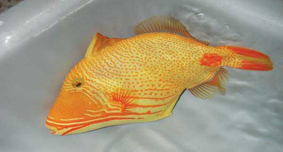 Golden Undulate Triggerfish - Balistapus undulatus