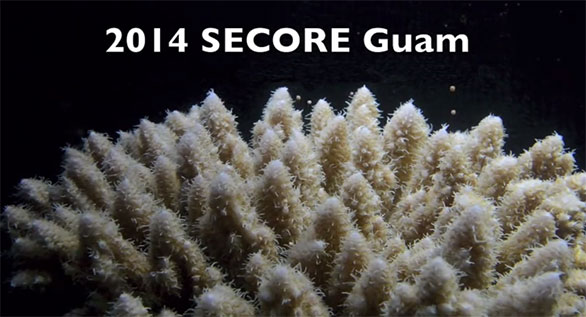 2014 SECORE GUAM (still image from spawning of Acropora surculosa at the University of Guam Marine Lab)