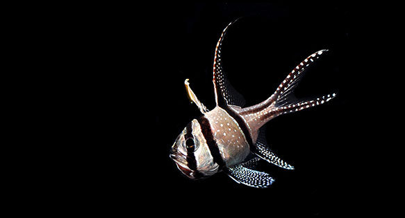 The Banggai Cardinalfish, Pterapogon kauderni, currently under review for possible ESA listing. Image by Matt Pedersen
