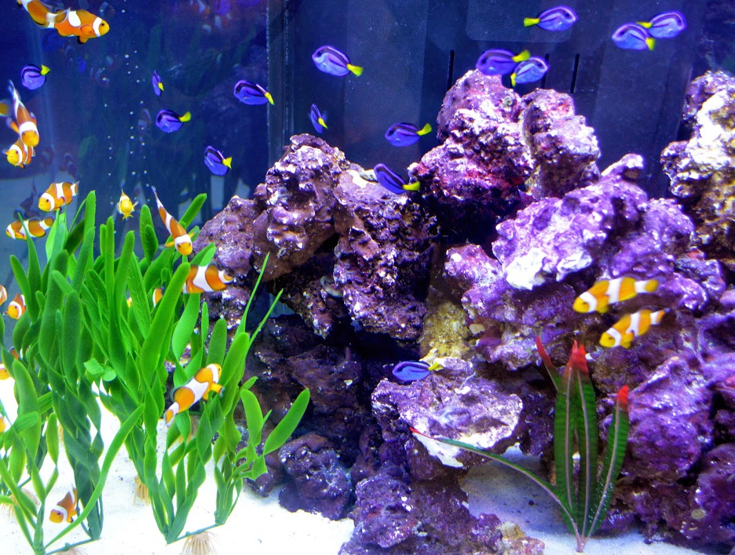 A tank of blue hippo tang and clownfish at Aquatic Experience - Chicago 2013. Photo courtesy of the World Pet Association.