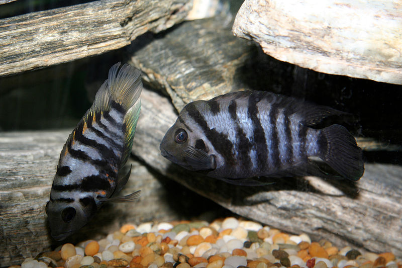 Why improve on fish like a Convict cichlid? Image credit: Deanpemberton, Creative Commons.