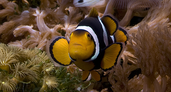 "The ""Onyx"" variant of the Orange Clownfish, A. percula, a species whose ESA Listing is up for debate."