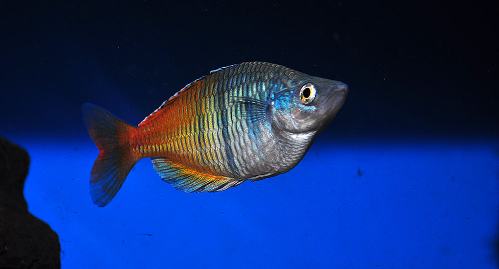 Melanotaenia boesemani, on the IUCN Red List as Endangered since 1996