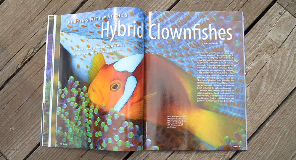 Hybrid Clownfishes - in this second article, Matt Pedersen looks at clownfish hybrids from the wild and aquariums, ranging from intraspecific hybrids to hybridization that crosses genus boundaries.