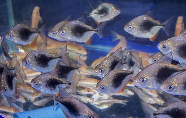 Bangkok 39 s tropical fish mecca jatujak weekend market for Silver dollar fish for sale