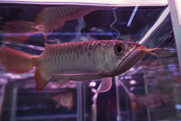 Red Asian Arowana