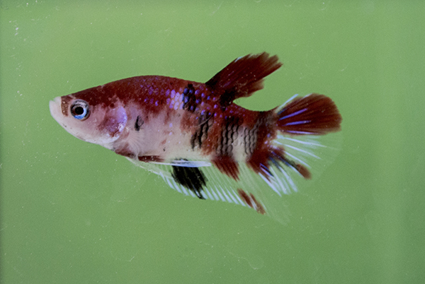 'Koi' Fighter (Pla Kat) Betta