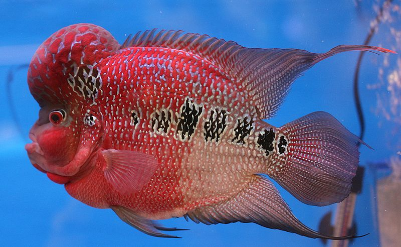 Flowerhorns have pretty prominent humps, if you hadn't noticed. Image credit: Lerdsuwa, Creative Commons.