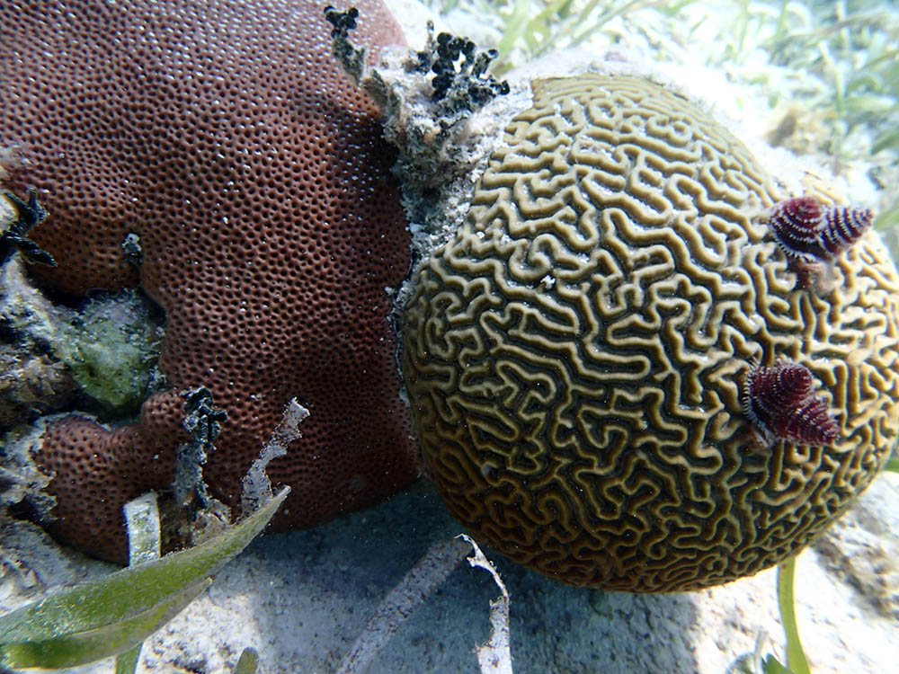 Caribbean LPS are generally overlooked from a reef restoration standpoint, but are integral parts of the reef that the team hopes to propagate with new efficiencies learned from the captive commercial propagation of similar corals for the aquarium market.