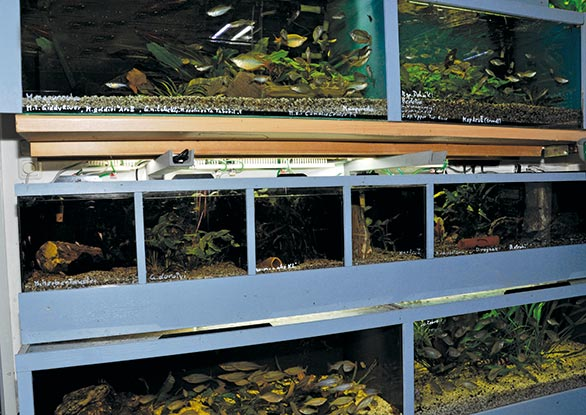 The upper rows are resting on wall braces. Therefore, I can pull out the lower aquariums that rest on wheeled racks. (See below.)